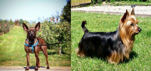 Bospin vs Australian Silky Terrier
