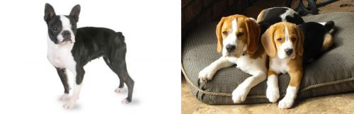 Boston Terrier vs Beagle