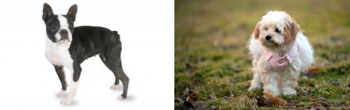 Boston Terrier vs West Highland White Terrier