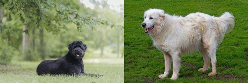 Bouvier des Flandres vs Abruzzenhund