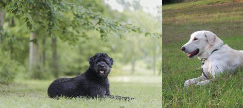 Bouvier des Flandres vs Akbash Dog