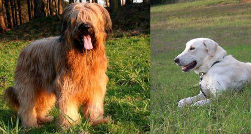 Briard vs Akbash Dog