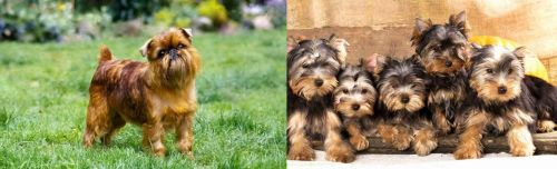 Brussels Griffon vs Yorkshire Terrier