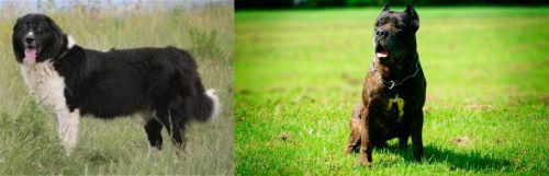 Bulgarian Shepherd vs Bandog