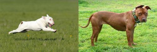Bull Terrier vs American Pit Bull Terrier