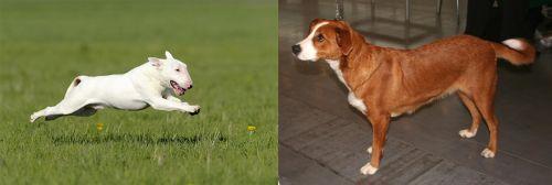 Bull Terrier vs Austrian Pinscher