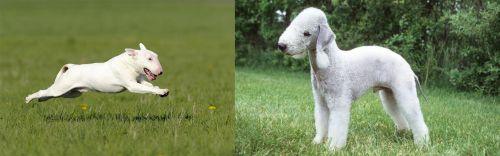 Bull Terrier vs Bedlington Terrier