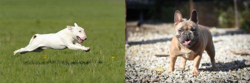 Bull Terrier vs French Bulldog