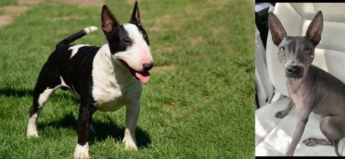 Bull Terrier Miniature vs American Hairless Terrier