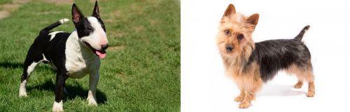 Bull Terrier Miniature vs Australian Terrier