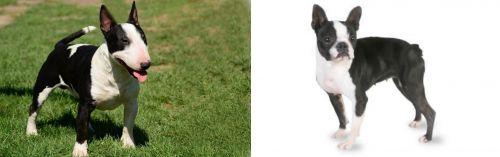 Bull Terrier Miniature vs Boston Terrier