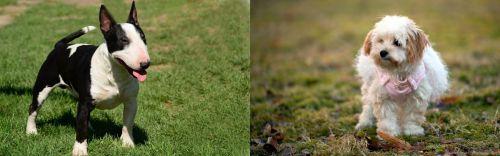 Bull Terrier Miniature vs West Highland White Terrier