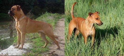 Bullmastiff vs Africanis