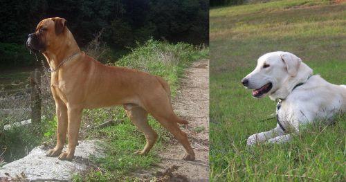 Bullmastiff vs Akbash Dog