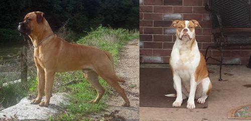 Bullmastiff vs Alapaha Blue Blood Bulldog