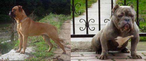 Bullmastiff vs American Bully