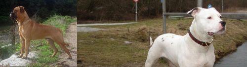 Bullmastiff vs Antebellum Bulldog