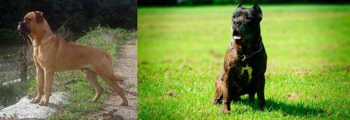 Bullmastiff vs Bandog