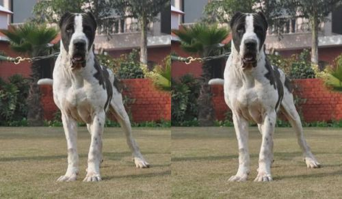 Bully Kutta vs Alangu Mastiff