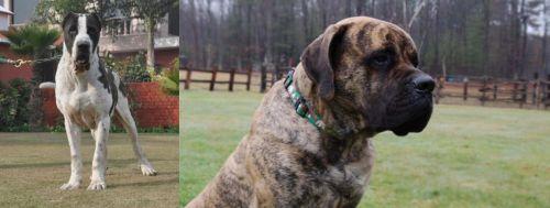 Bully Kutta vs American Mastiff