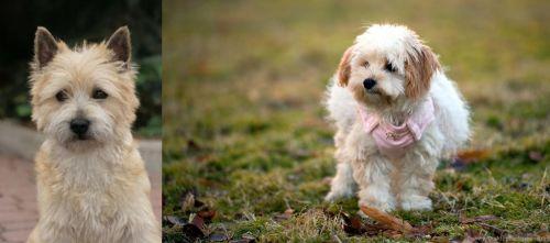Cairn Terrier vs West Highland White Terrier