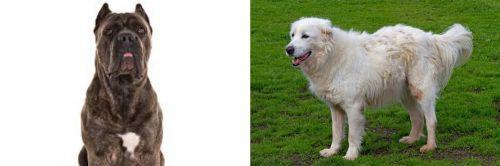 Cane Corso vs Abruzzenhund