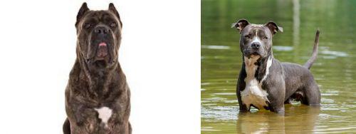 Cane Corso vs American Staffordshire Terrier