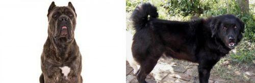 Cane Corso vs Bakharwal Dog