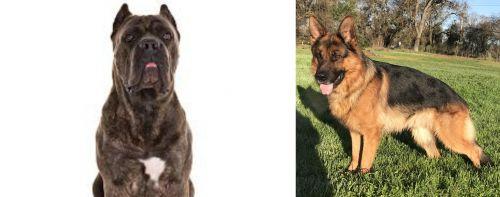 Cane Corso vs German Shepherd