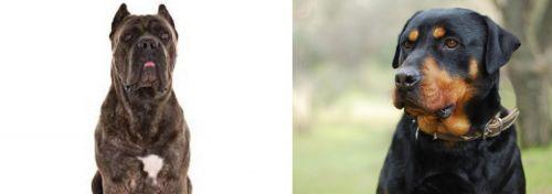 Cane Corso vs Rottweiler