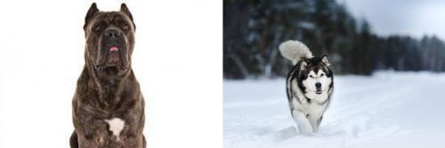 Cane Corso vs Siberian Husky