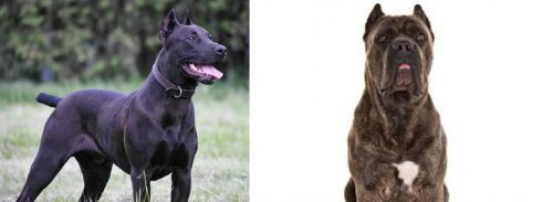 Canis Panther vs Cane Corso