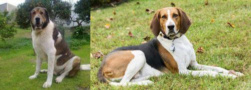 Cao de Gado Transmontano vs American English Coonhound