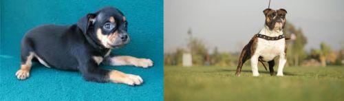 Carlin Pinscher vs Bantam Bulldog