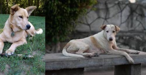 Carolina Dog vs Askal
