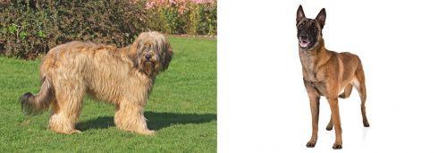 Catalan Sheepdog vs Belgian Shepherd Dog (Malinois)