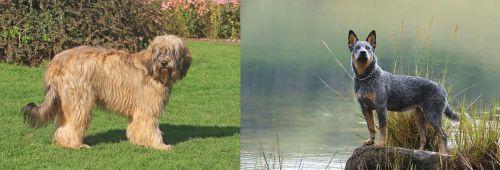 Catalan Sheepdog vs Blue Healer