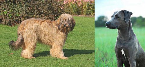 Catalan Sheepdog vs Blue Lacy