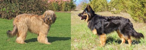 Catalan Sheepdog vs Bohemian Shepherd