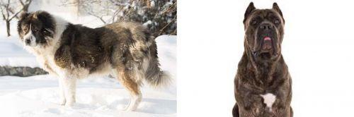 Caucasian Shepherd vs Cane Corso