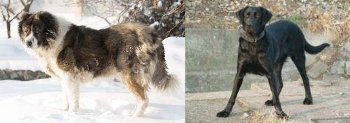 Caucasian Shepherd vs Cao de Castro Laboreiro