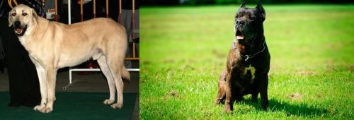 Central Anatolian Shepherd vs Bandog