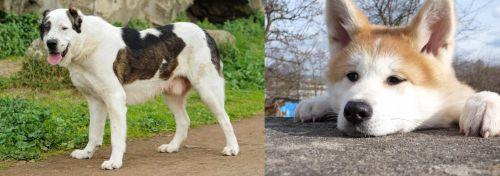 Central Asian Shepherd vs Akita