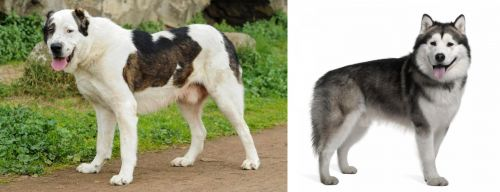 Central Asian Shepherd vs Alaskan Malamute