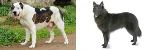 Central Asian Shepherd vs Belgian Shepherd
