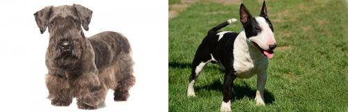 Cesky Terrier vs Bull Terrier Miniature