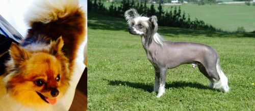 Chiapom vs Chinese Crested Dog