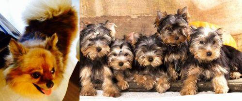 Chiapom vs Yorkshire Terrier
