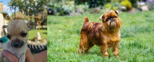 Chihuahua vs Brussels Griffon