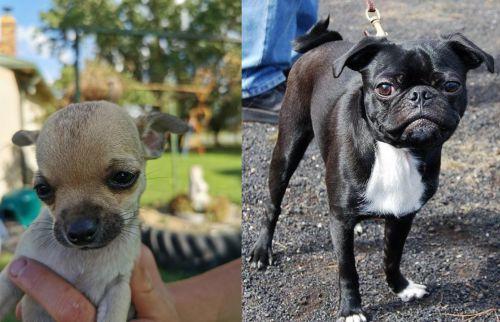 Chihuahua vs Bugg